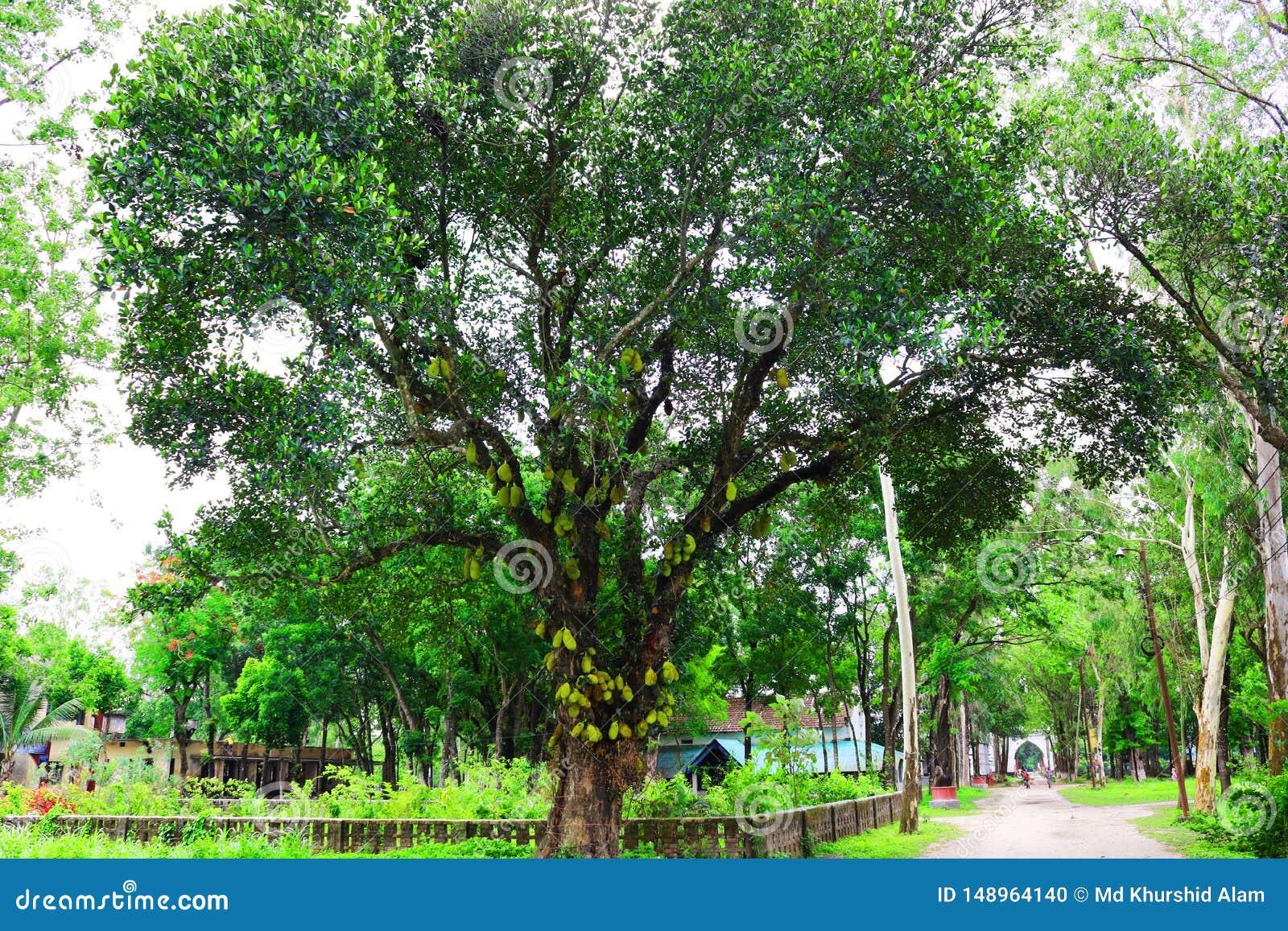Jackfruit op boom Het reusachtige hefboomfruit gowing in boom jackfruit vruchten vers mooi de tuin groen blad van de boom organis