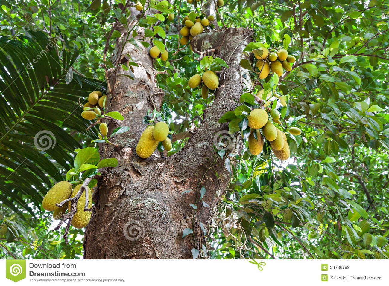 Jackfruit Tree Royalty Free Stock Images - Image: 34786789