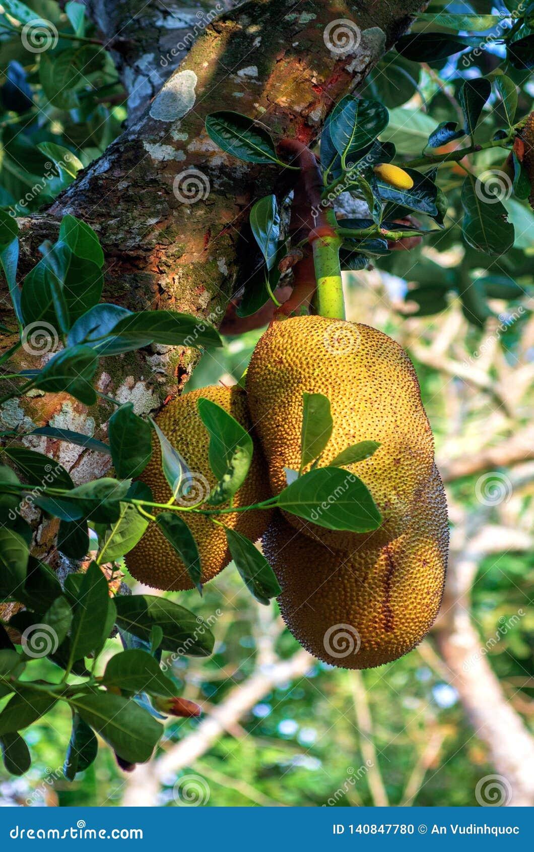 Jackfruit van kinderjaren aan rijpheid