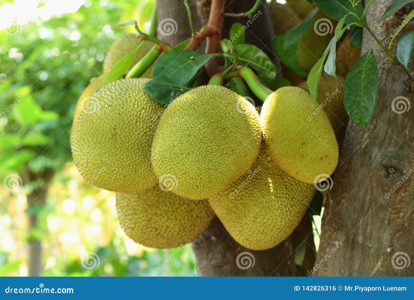 Jackfruitboom