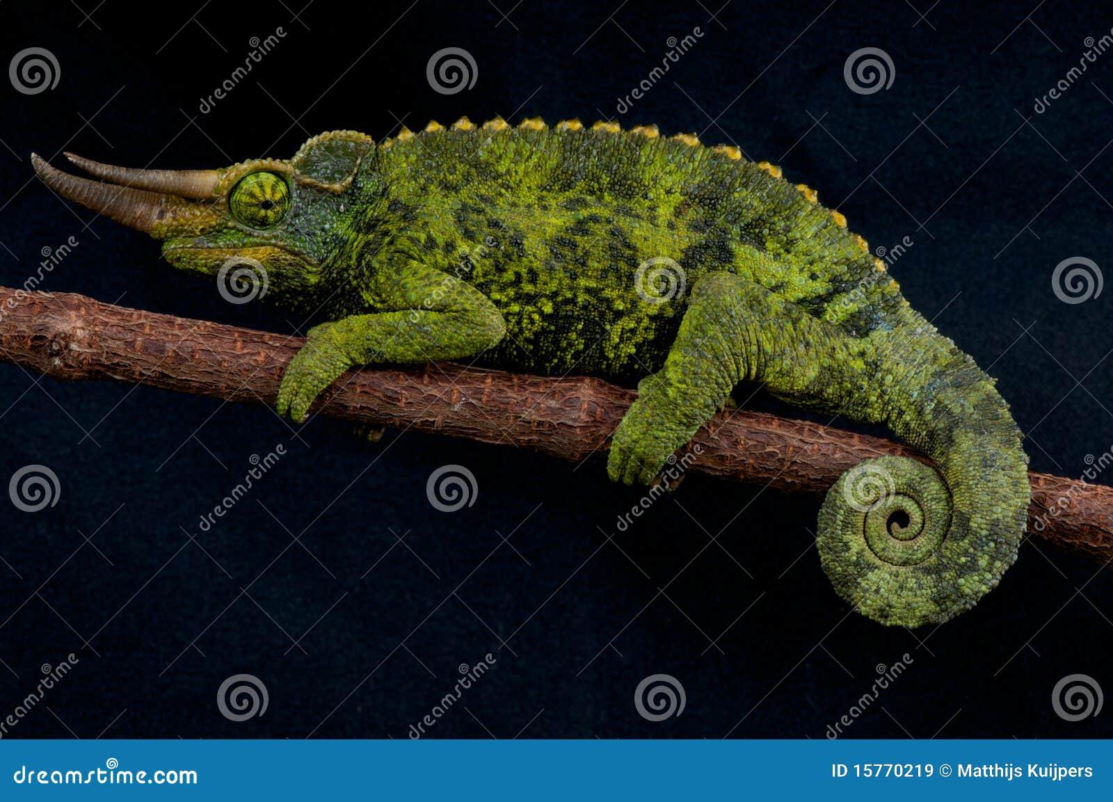 X 1 Chameleon Jackson's Chameleon Ro...