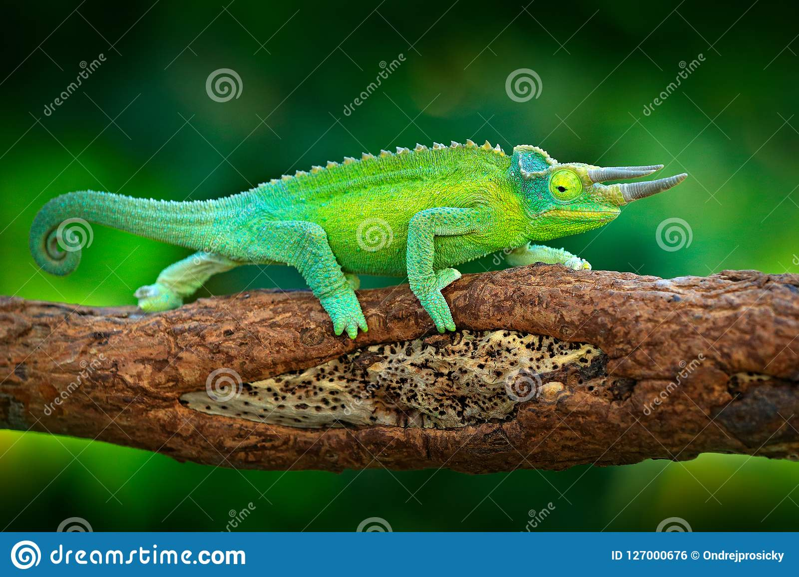 Jackson`s Chameleon, Trioceros jacksonii, sitting on the branch in forest habitat. Exotic beautiful endemic green reptile with lo