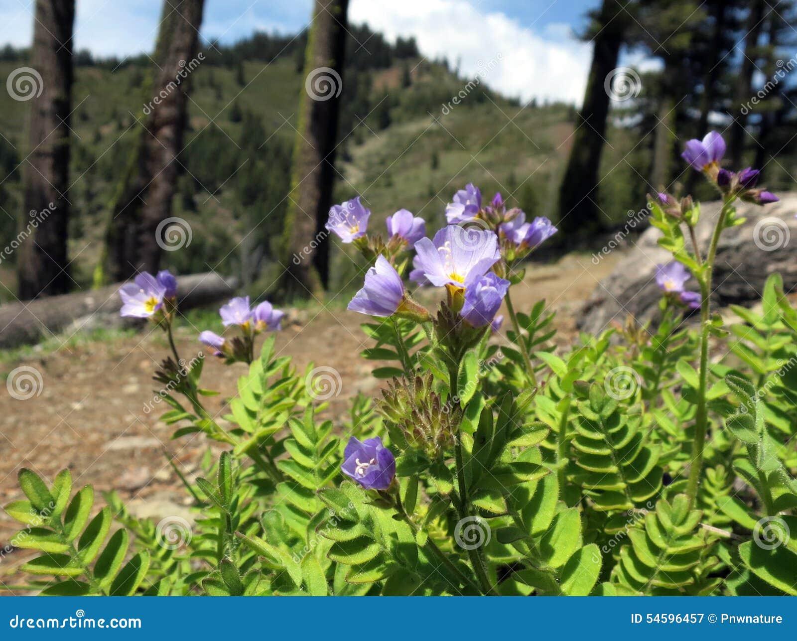 Jacob stege blommar på berget Ridge