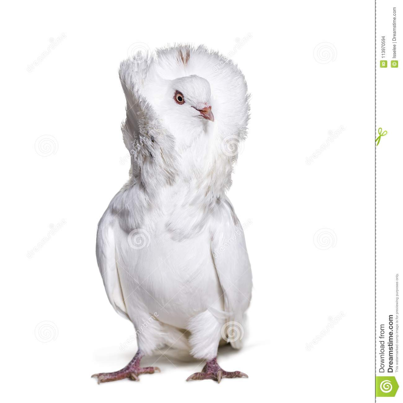 Jacobin pigeon also known as a fancy pigeon or capucin pigeon lo