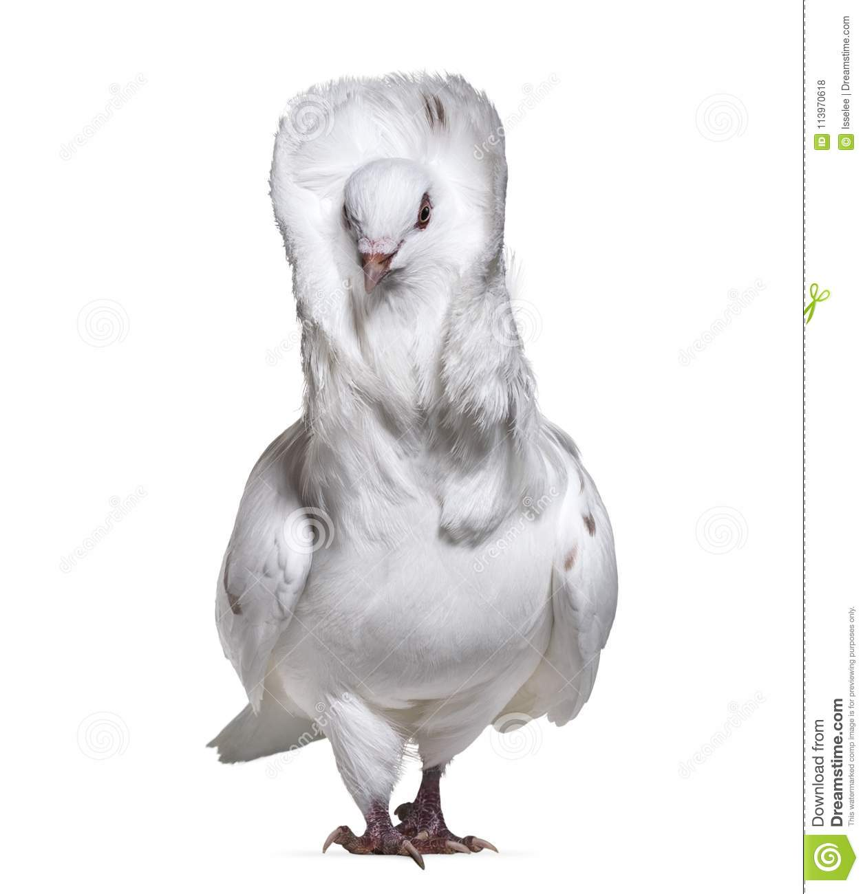 Jacobin pigeon also known as a fancy pigeon or capucin pigeon st