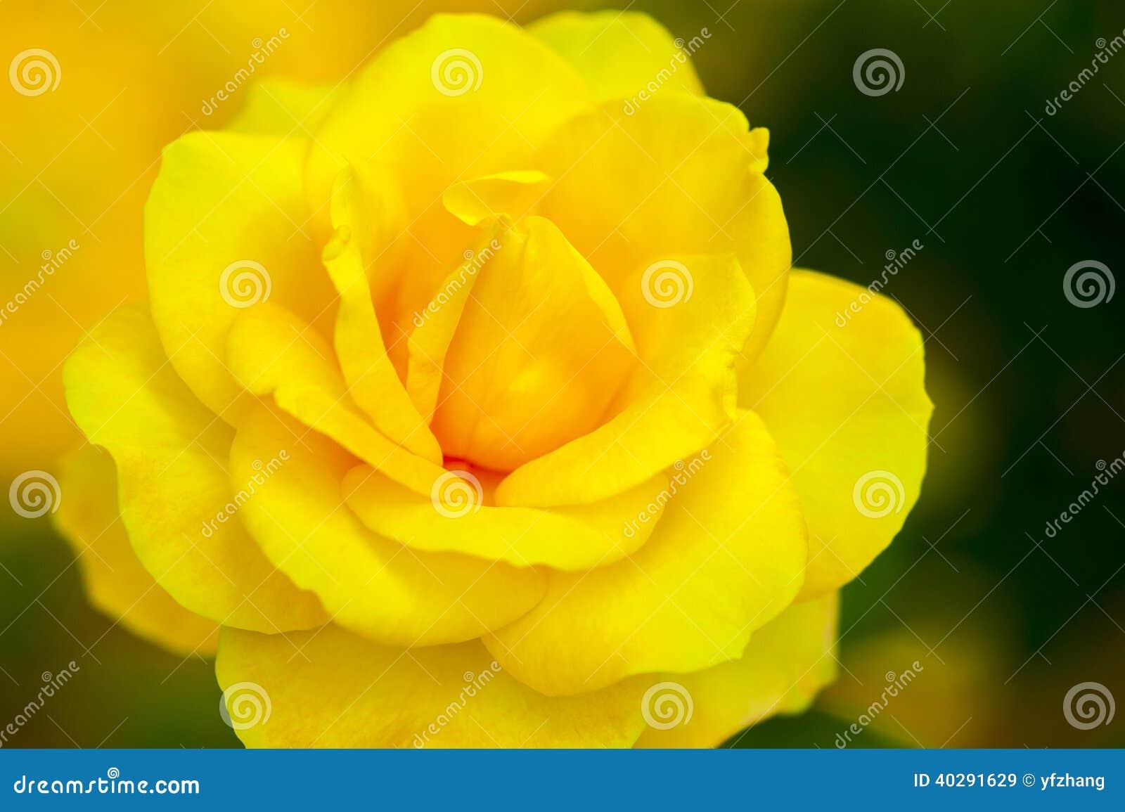 Jacq rosa желтого фарфора розовое chinensis