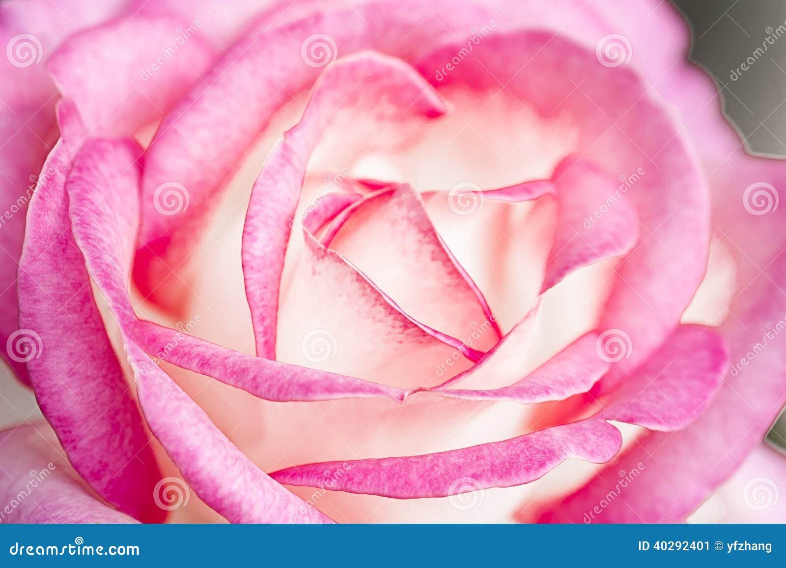 Jacq rosa фарфора розовое chinensis