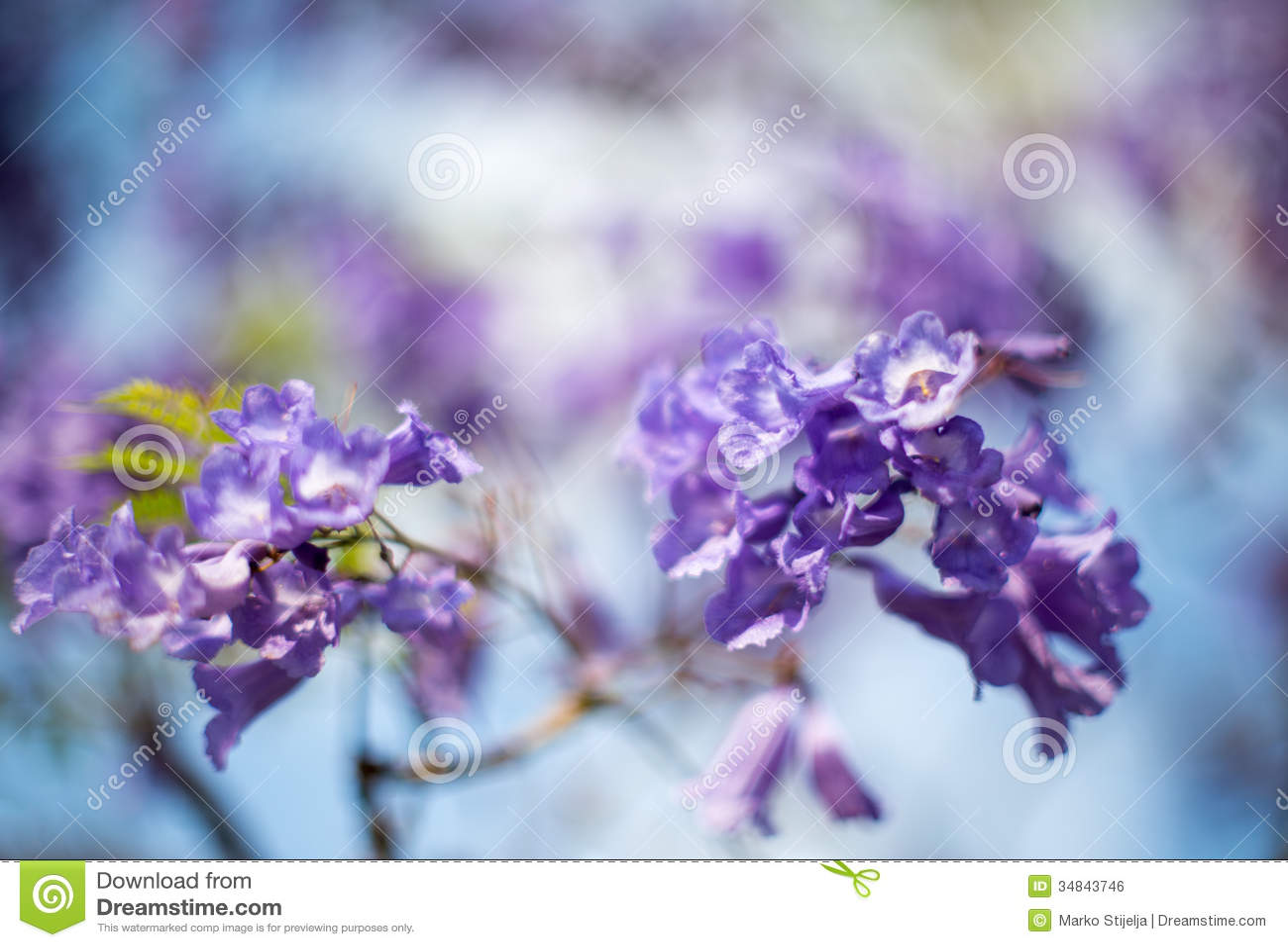 Jacquaranda-Baumblumen