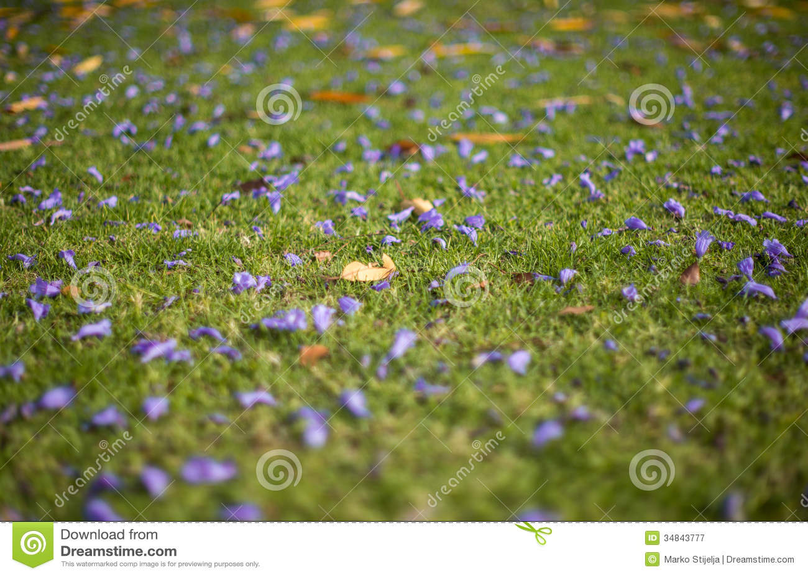 Jacquaranda-Blumen auf Rasenfläche