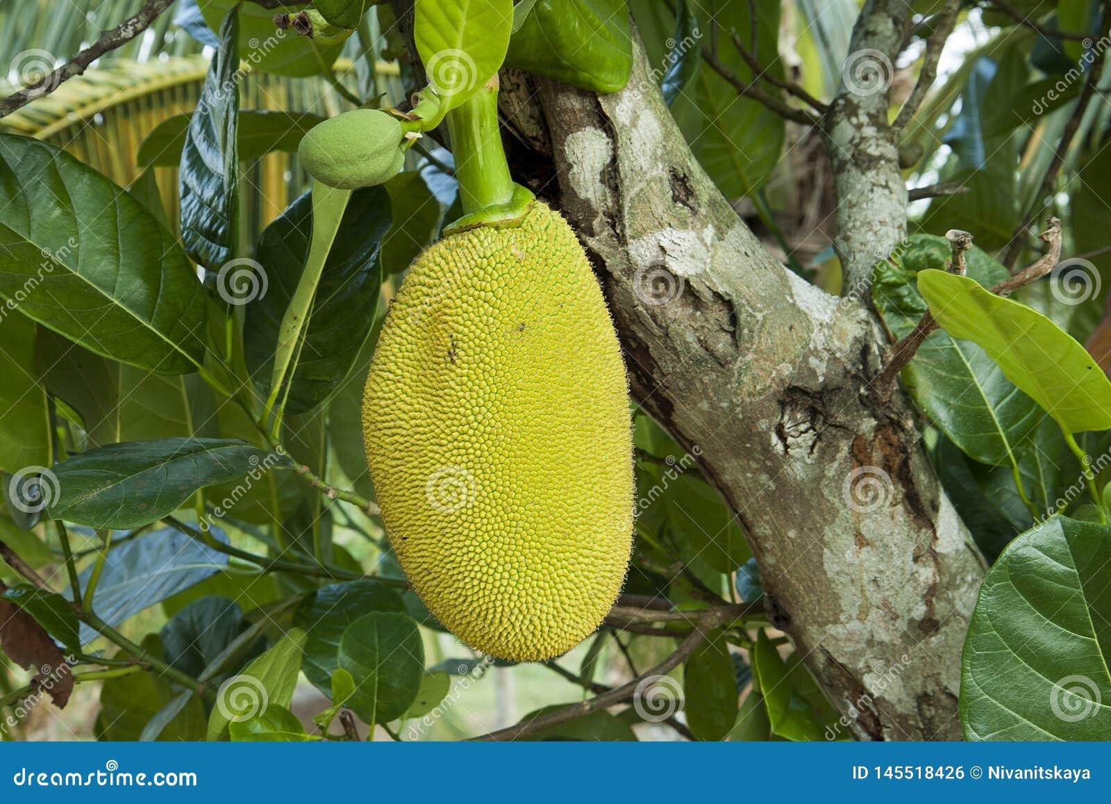 Jacquier mûr dans le feuillage vert Jacquier Grands fruit tropical, branches et feuilles