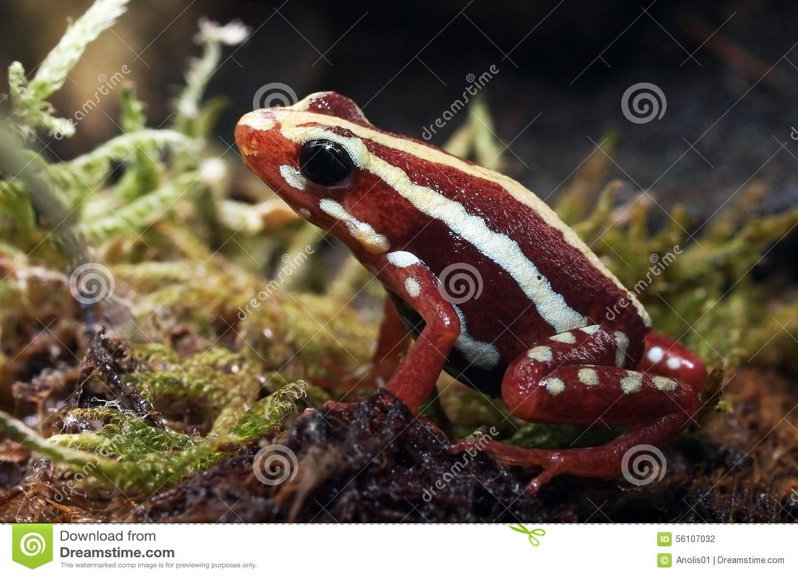 Jad czerwieni żaba