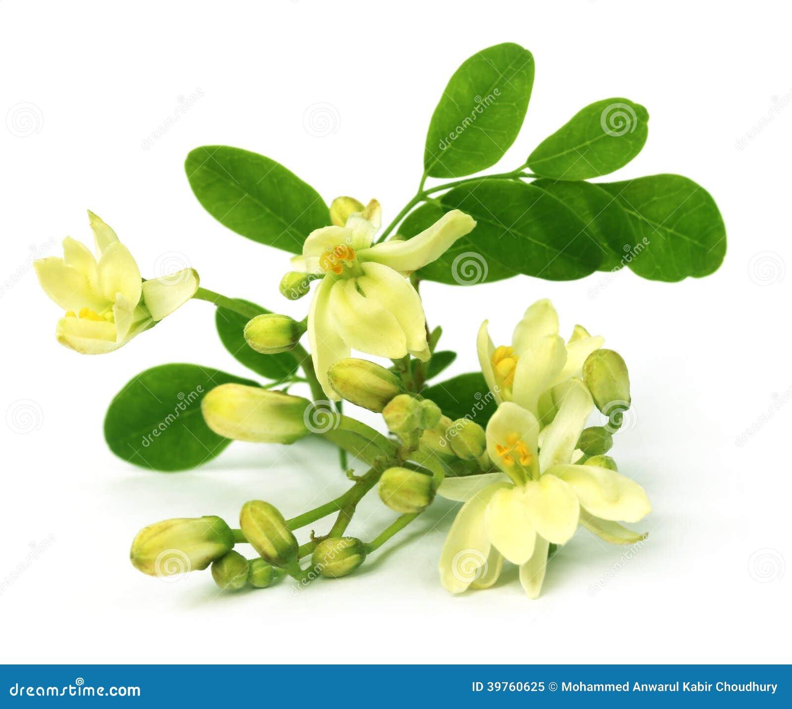 Jadalny Moringa kwiat