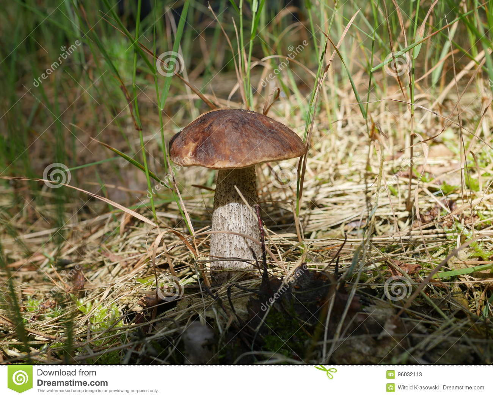 Jadalny pieczarkowy leccinum scabrum