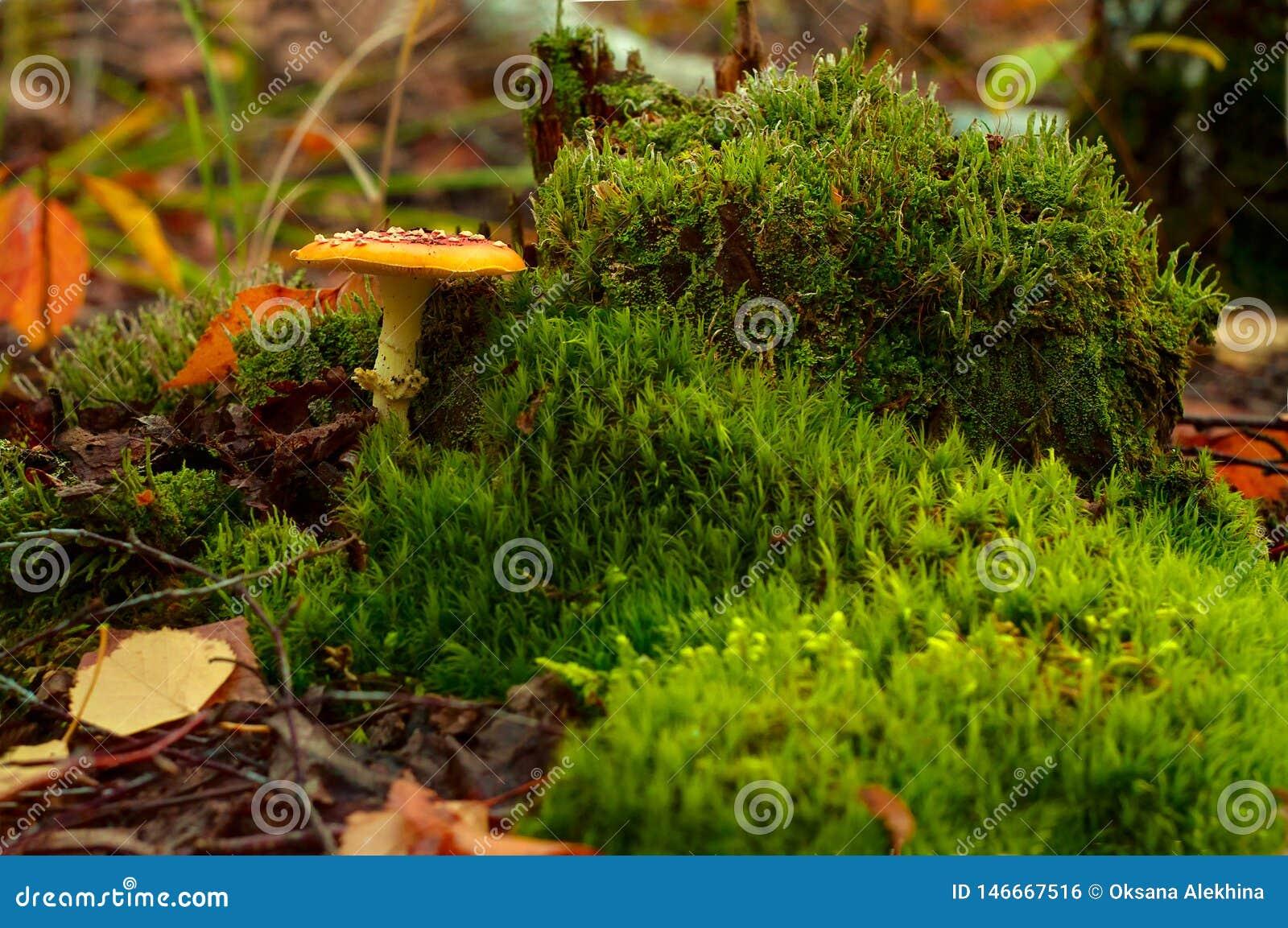 Jadowita czerwieni pieczarka na zielonym mech