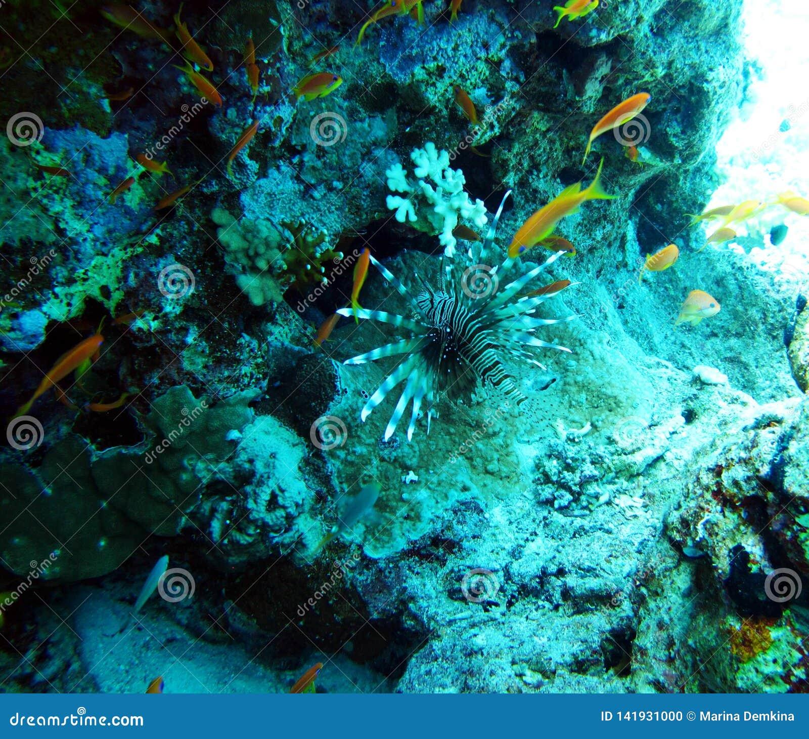 Jadowity rybi lionfish, zebry ryba morze czerwone ryby