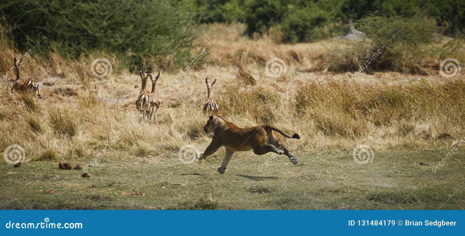 Jaga att köra för lejoninna som är snabbt efter impala