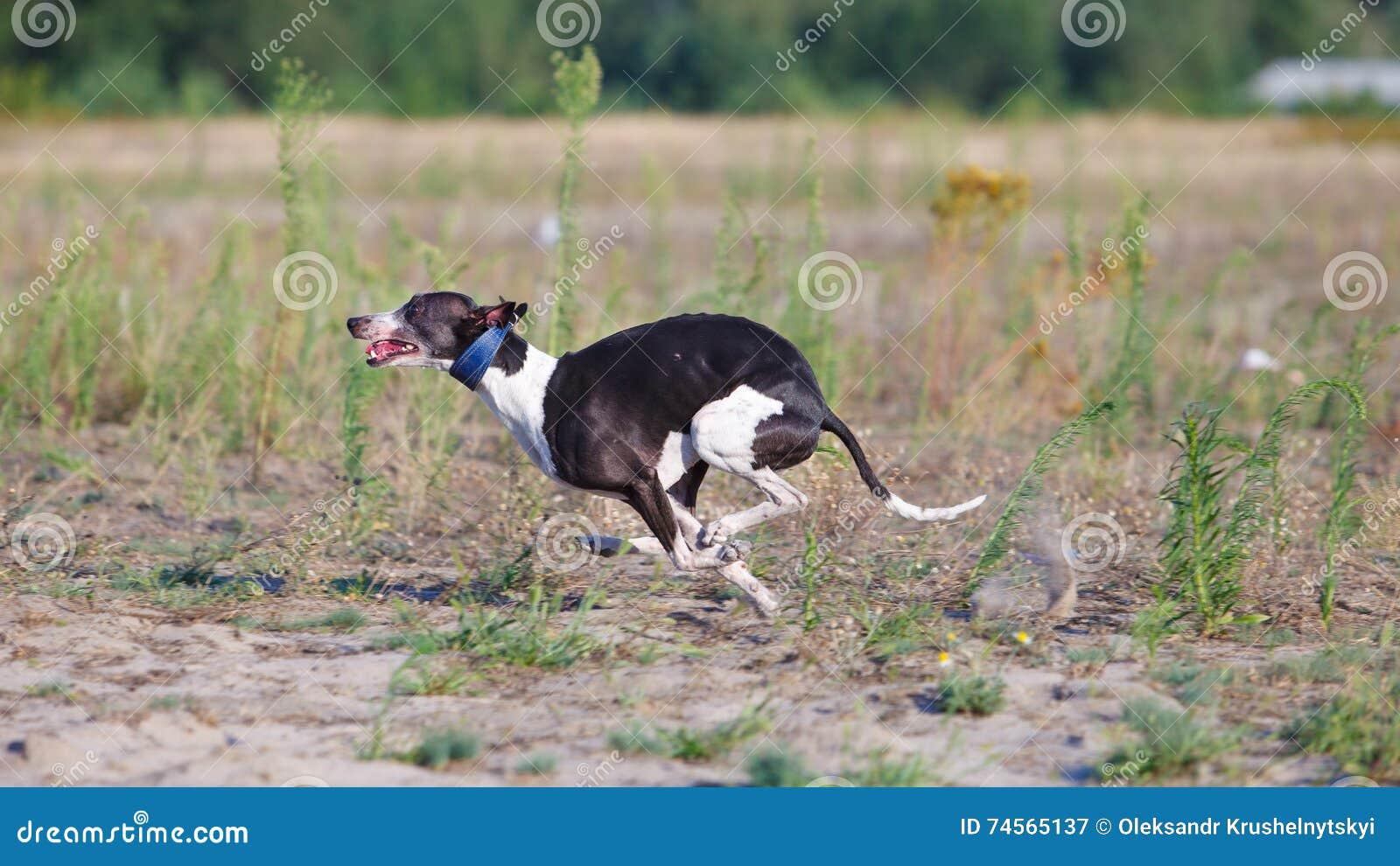 Jaga Whippethundspring i fältet