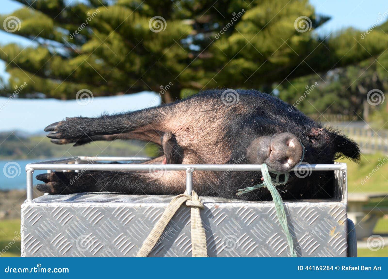 Jagat löst svin