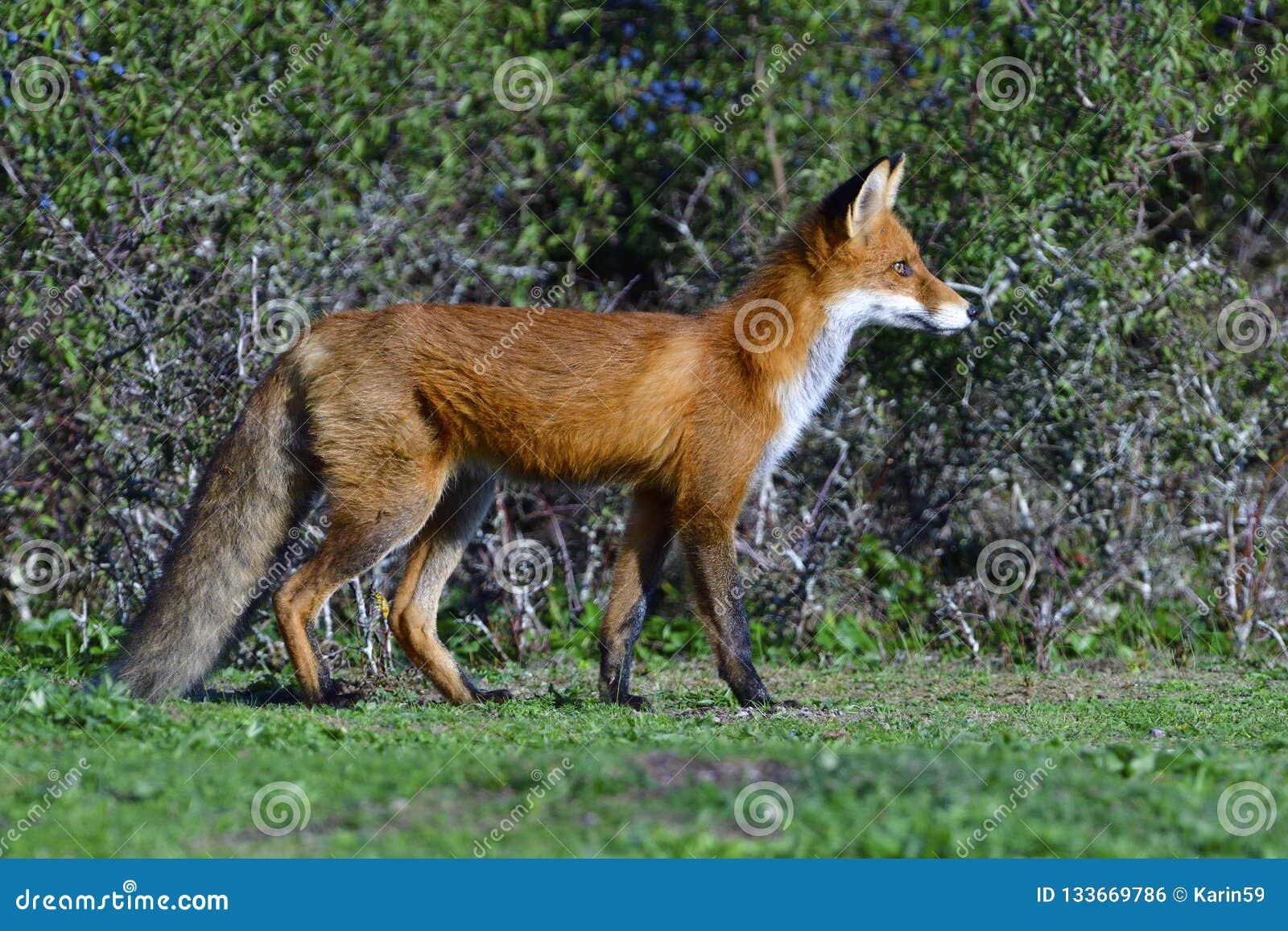Jagd des roten Fuchses