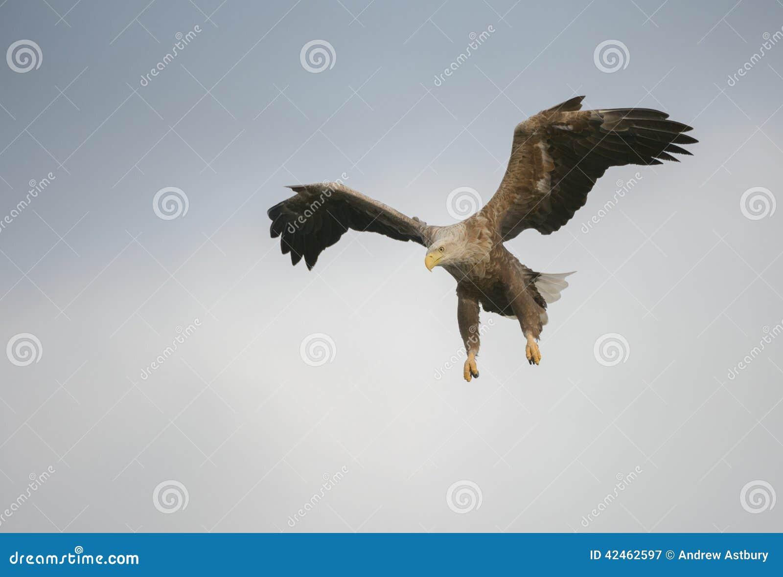 Jagd Eagle in einem Tauchen