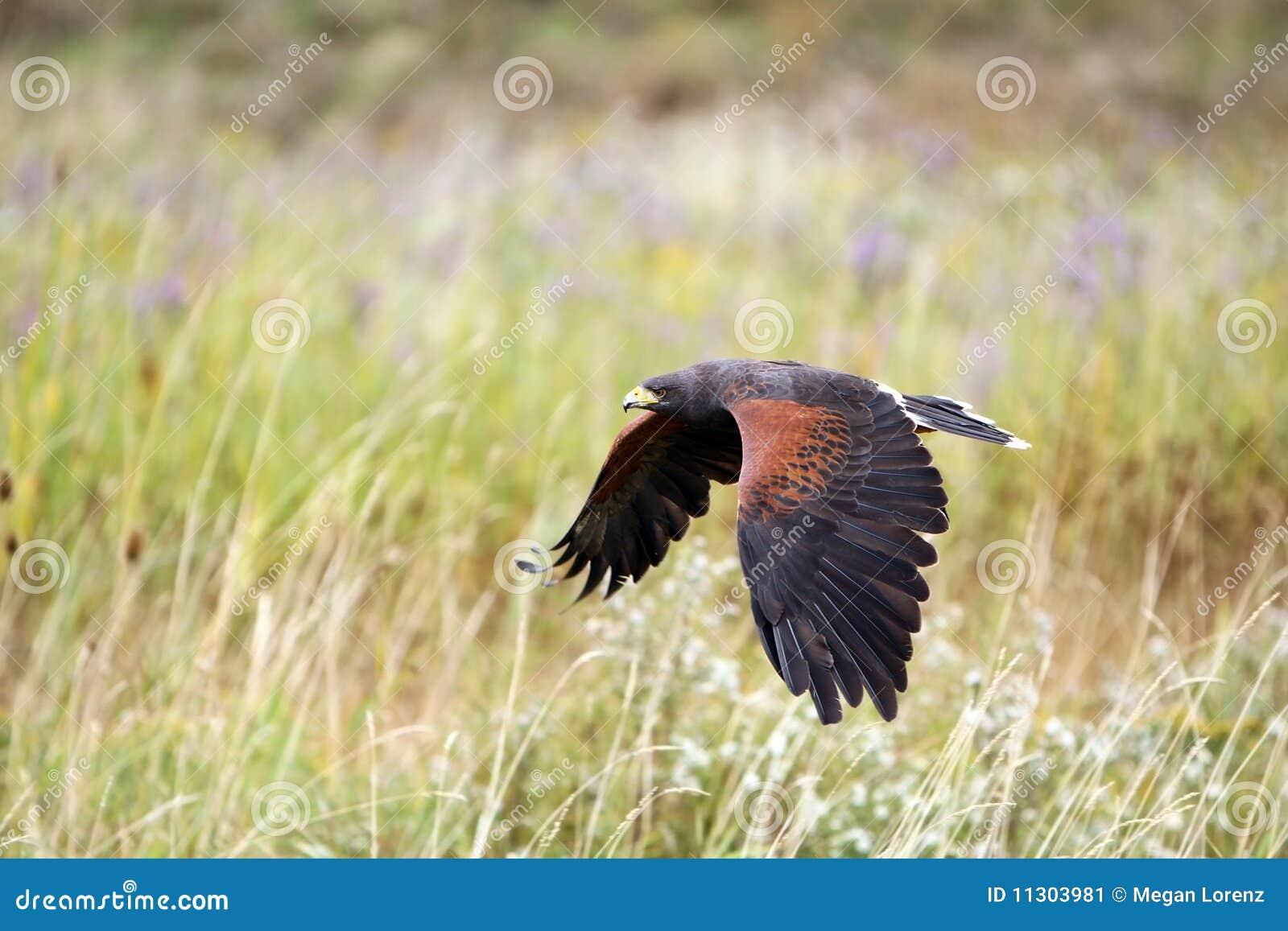 Jagd-Falke