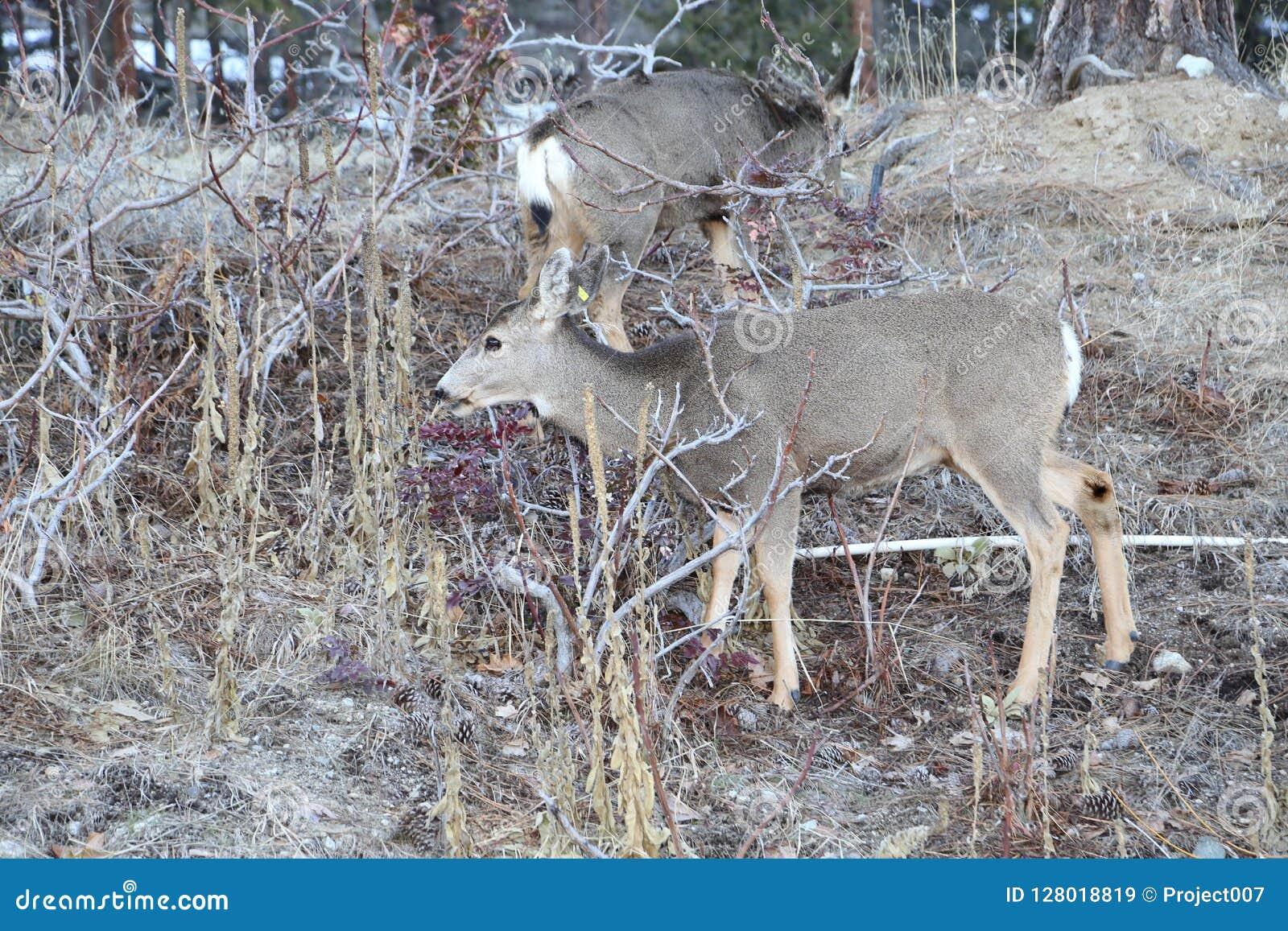 Jagdjahreszeit Rotwild- und Elchthemen sind für die Jagd oder Wildnisanschlagtafeln oder -zeitschriften populär