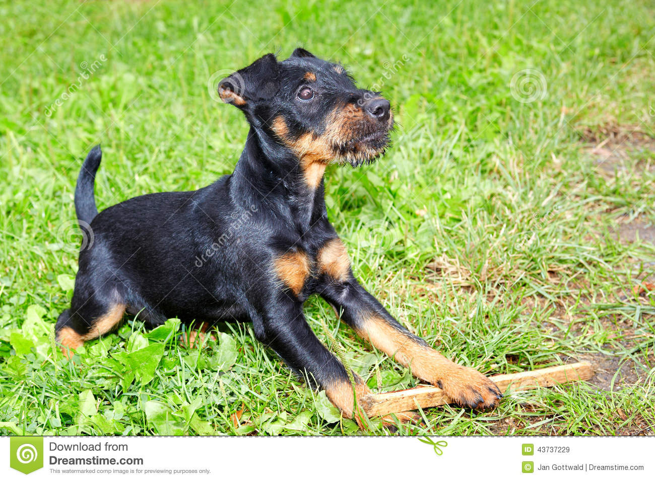 Jagdterrier Stock Photos Royalty Free Pictures