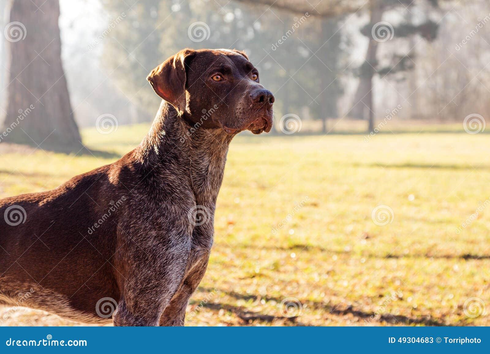 Jagershond