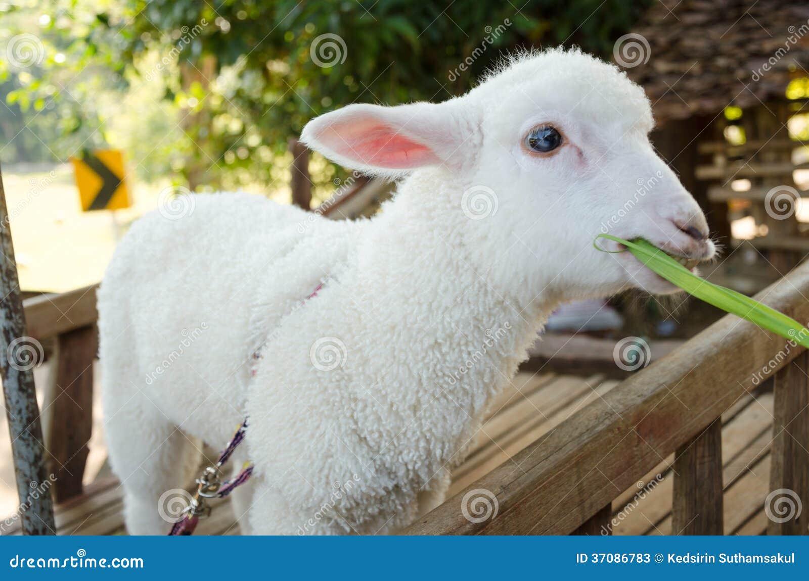 Download Jagnięca łasowanie trawa obraz stock. Obraz złożonej z naturalny - 37086783