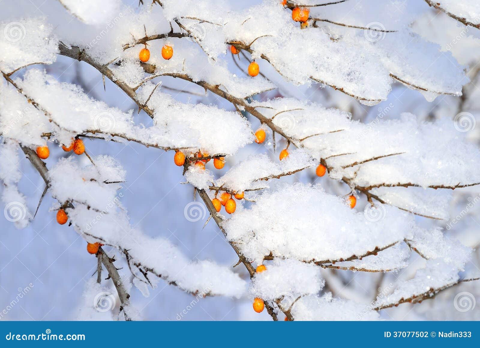 Download Jagody pod śniegiem zdjęcie stock. Obraz złożonej z natura - 37077502