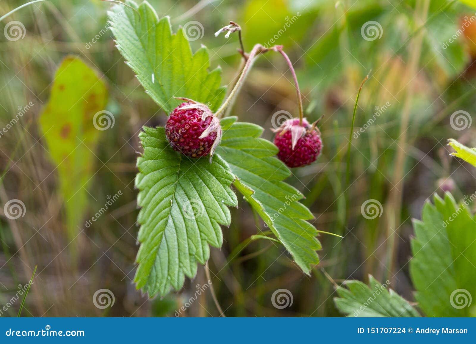 Jagody zamkni?tego ?rodowiska narastaj?ca makro- naturalna truskawka w g?r? dzikiego Zako?czenie