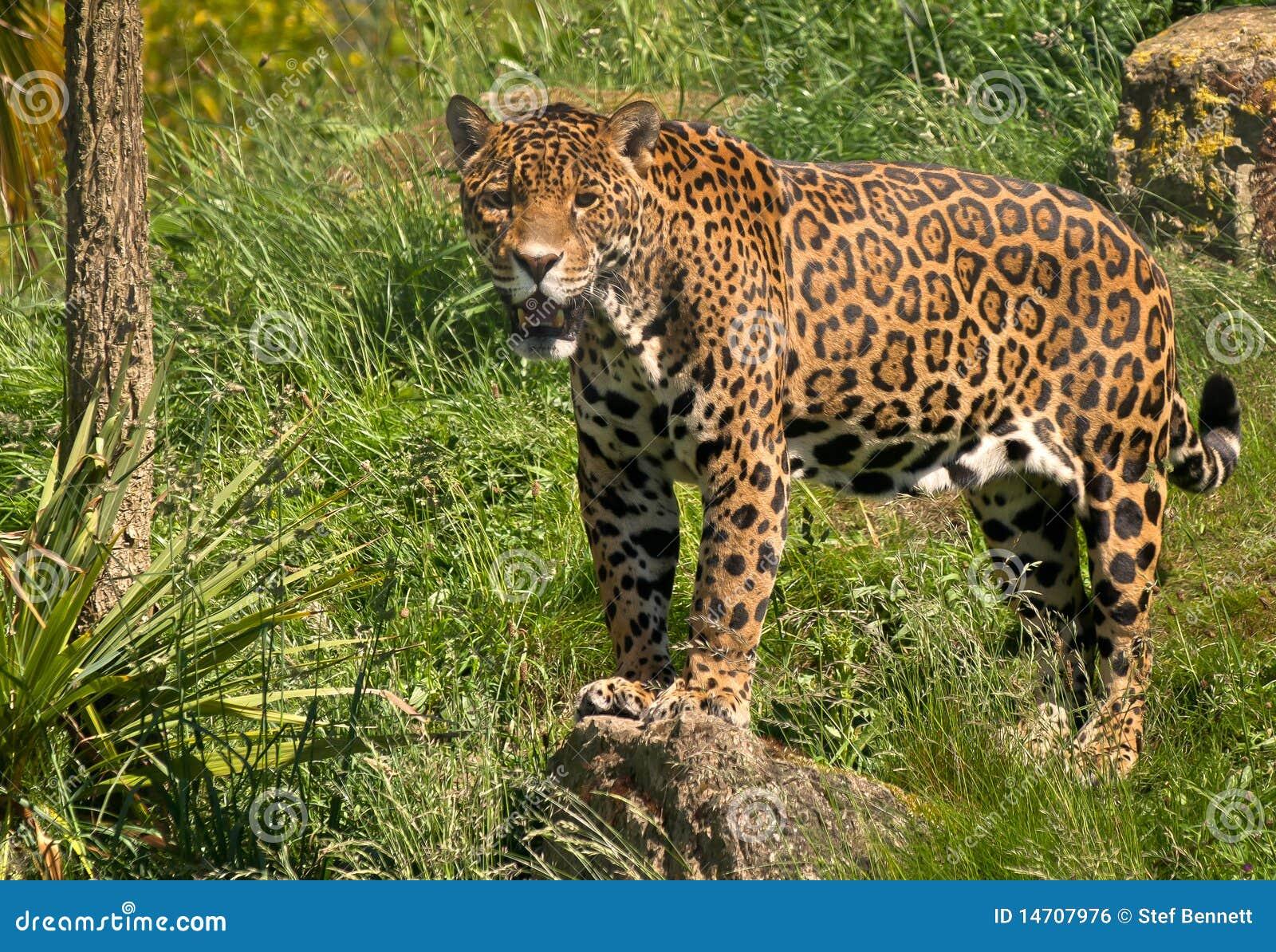 jaguar standing - photo #10