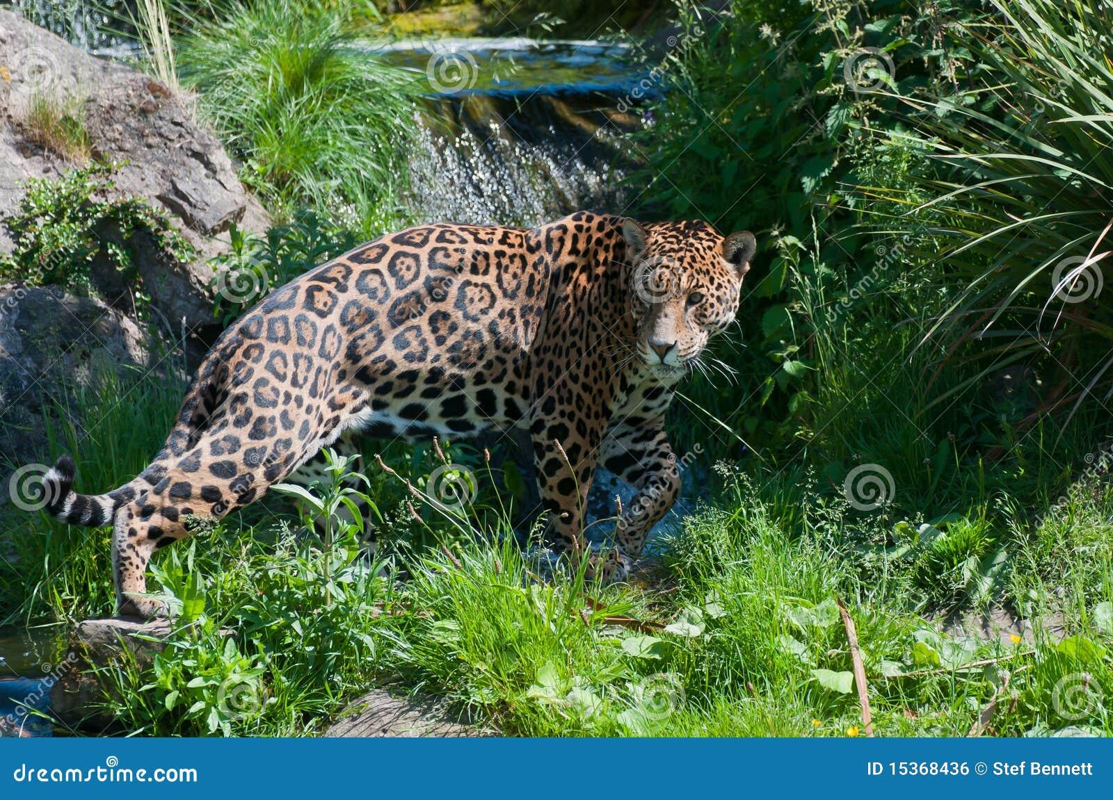 jaguar standing - photo #28