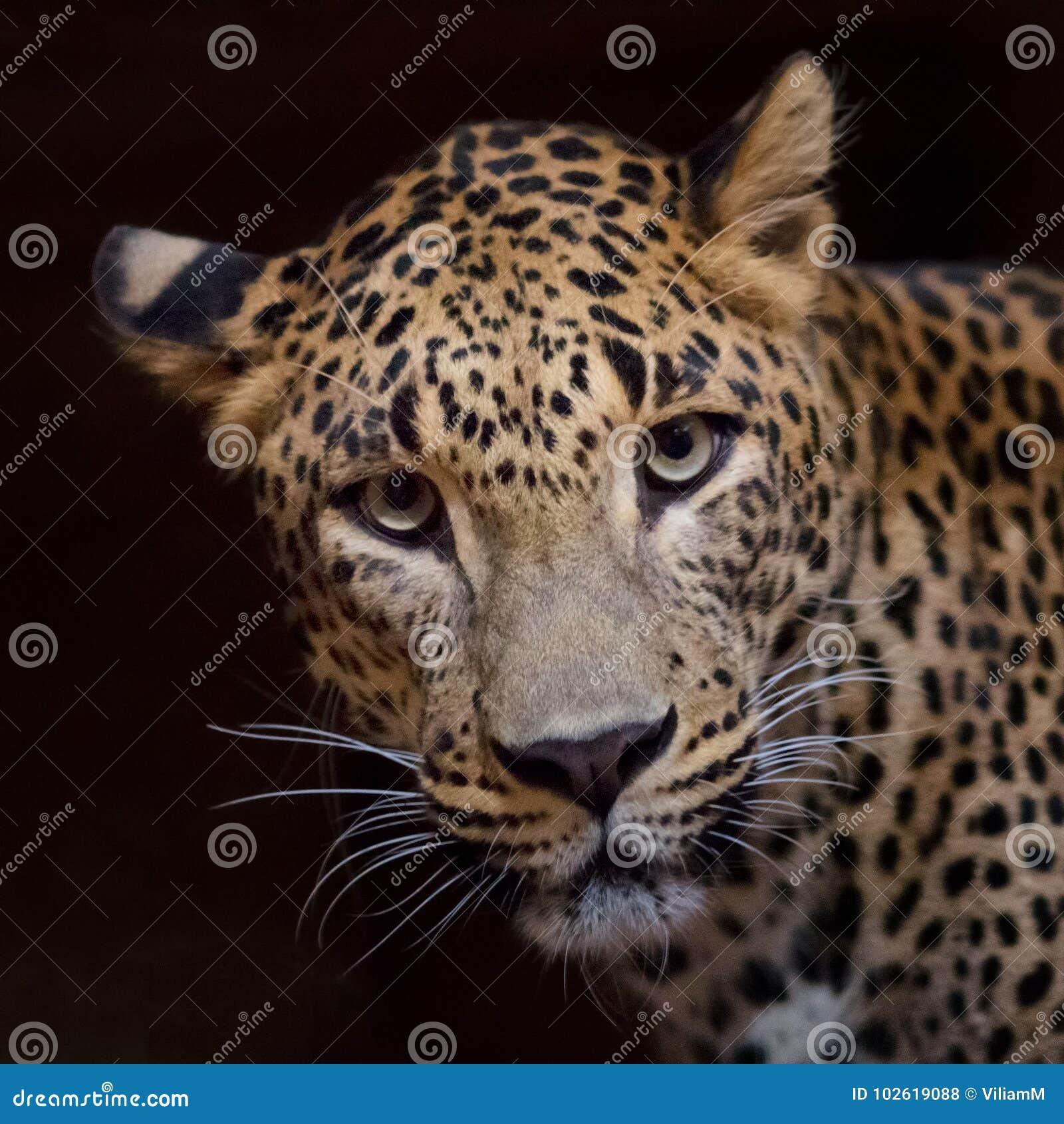 Jaguar-Ansicht