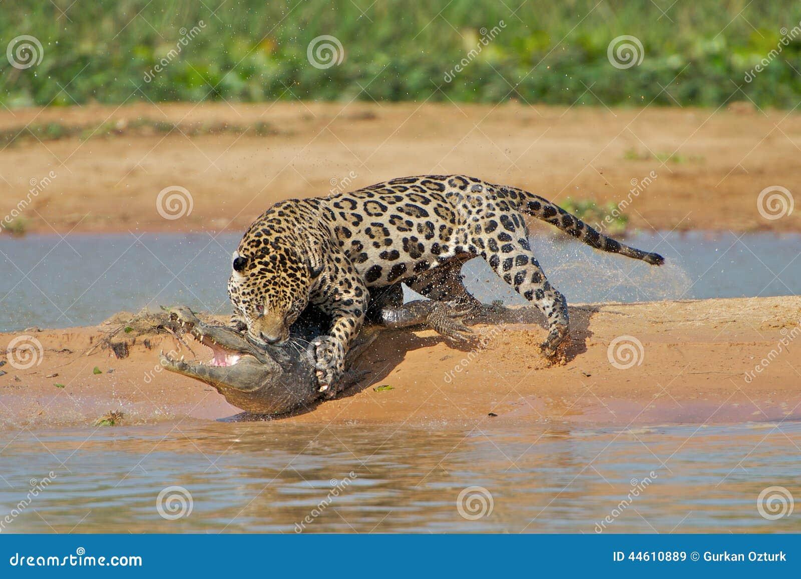 Jaguar Attacks Crocodile Cousin (EXCLUSIVE VIDEO ...