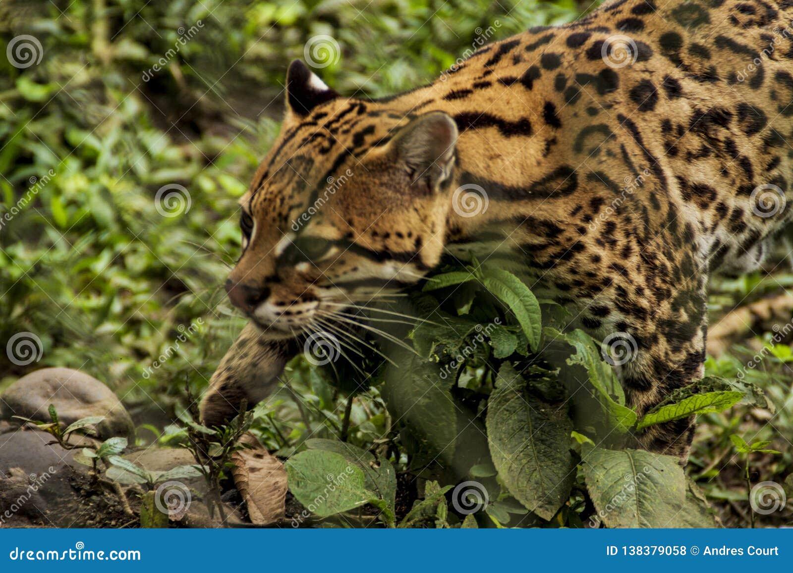 Jaguar closeupsikt