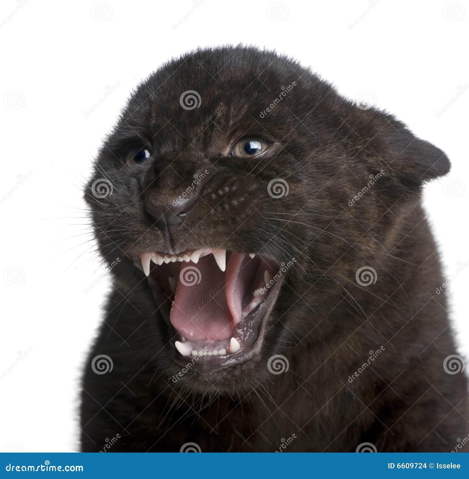 Black Jaguar Growl: Panthera Onca Stock Images
