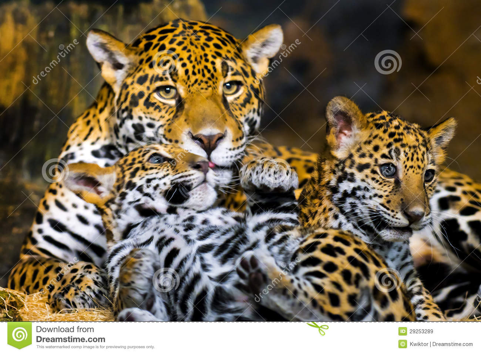 jaguar cubs royalty free stock images image 29253289