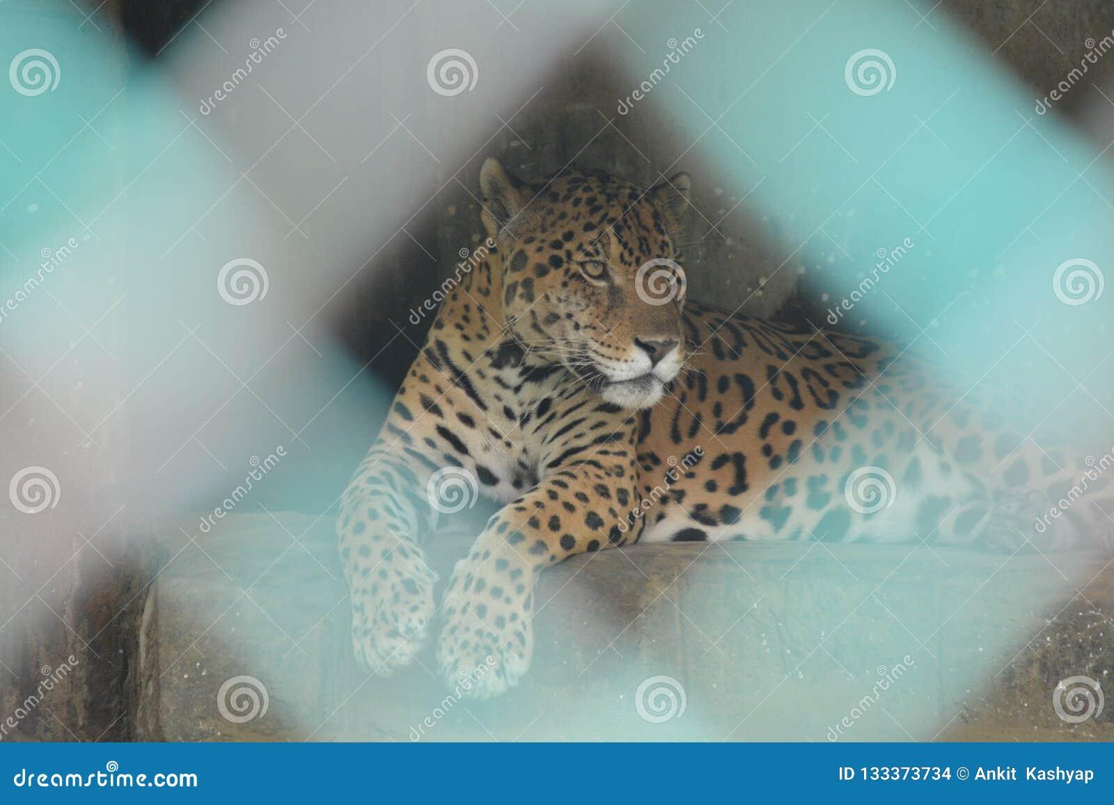 Jaguar, das hinter dem Käfig sitzt