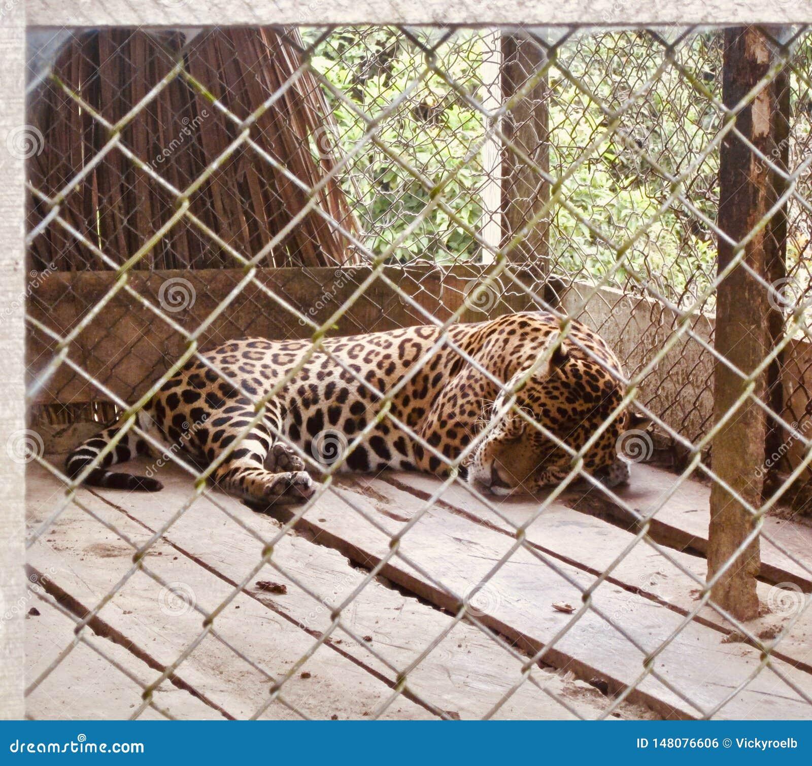 Jaguar en prison