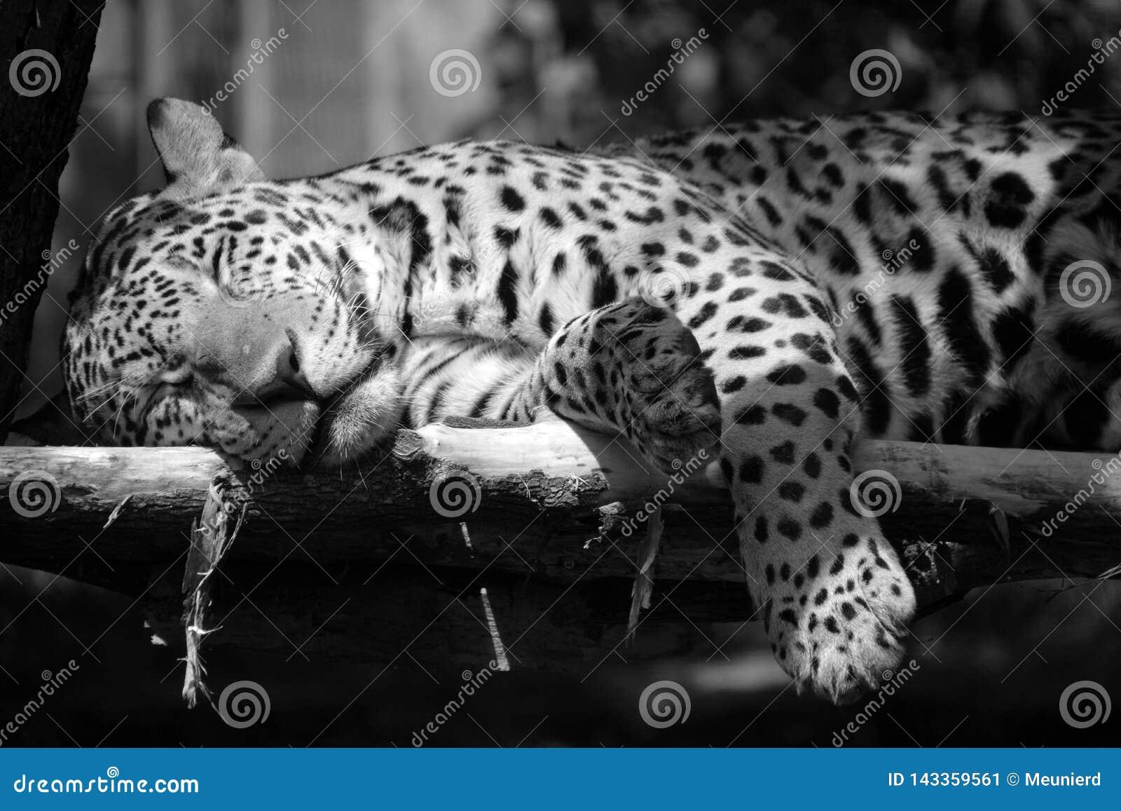 Jaguar es un gato, un felino