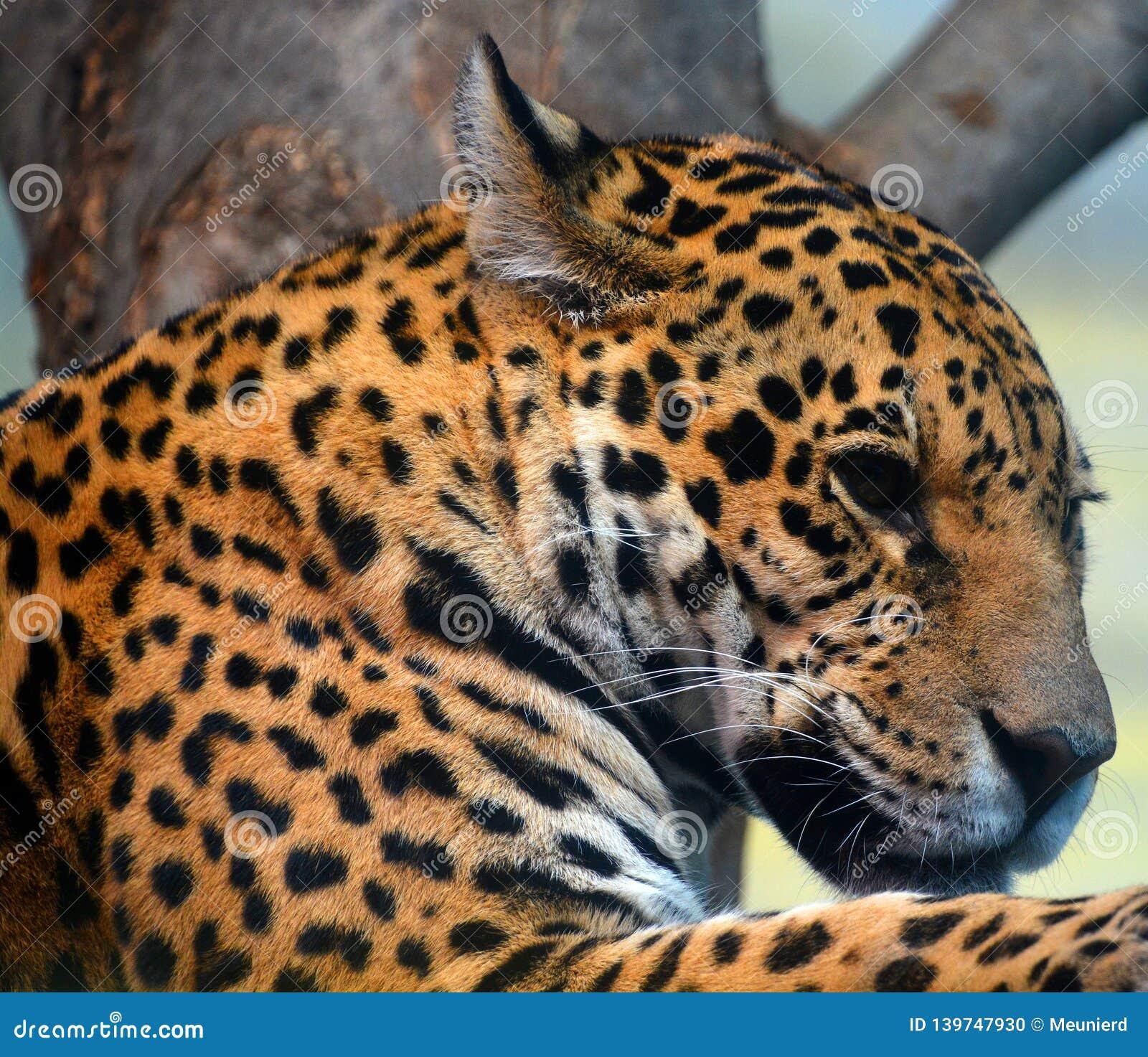 Jaguar es un gato, un felino en el género del Panthera