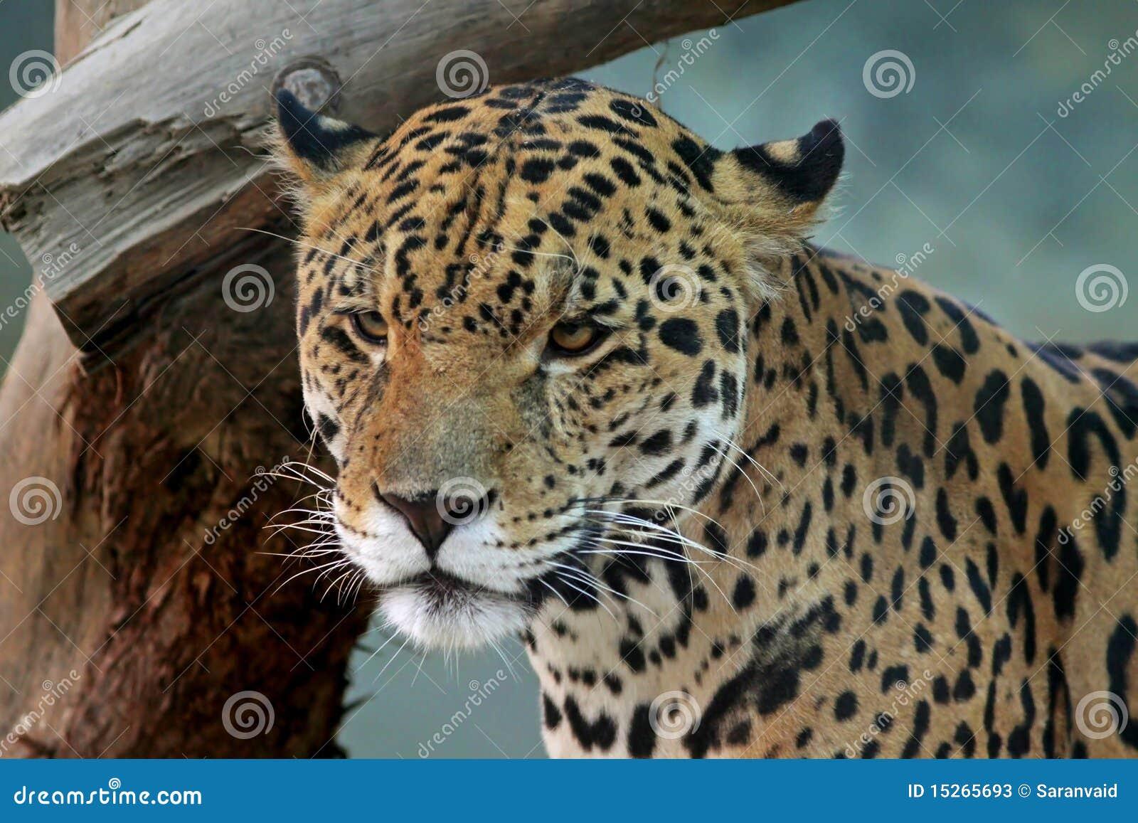 Jaguar Face Stock Photos Image 15265693