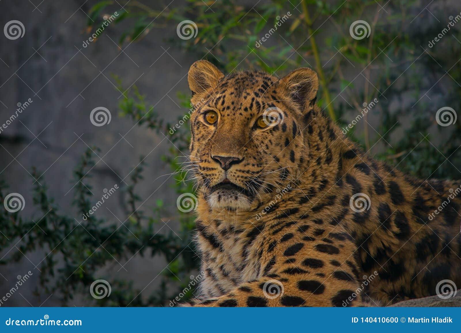 Jaguar, gato, bigcat, color, retrato