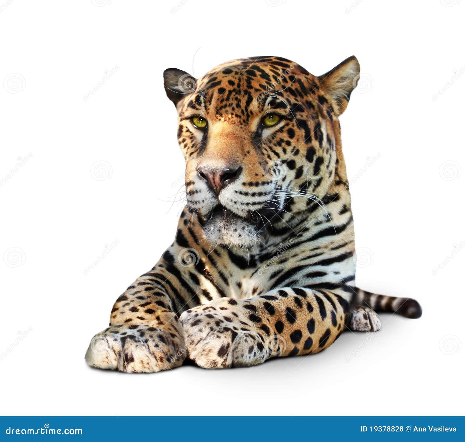 Jaguar - geïsoleerdt vooraanzicht,