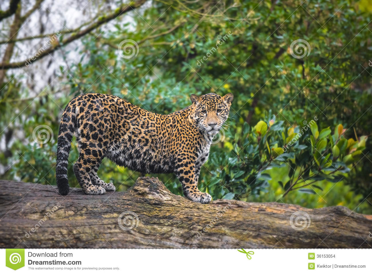 Jaguar In The Jungle Stock Images - Image: 36153054