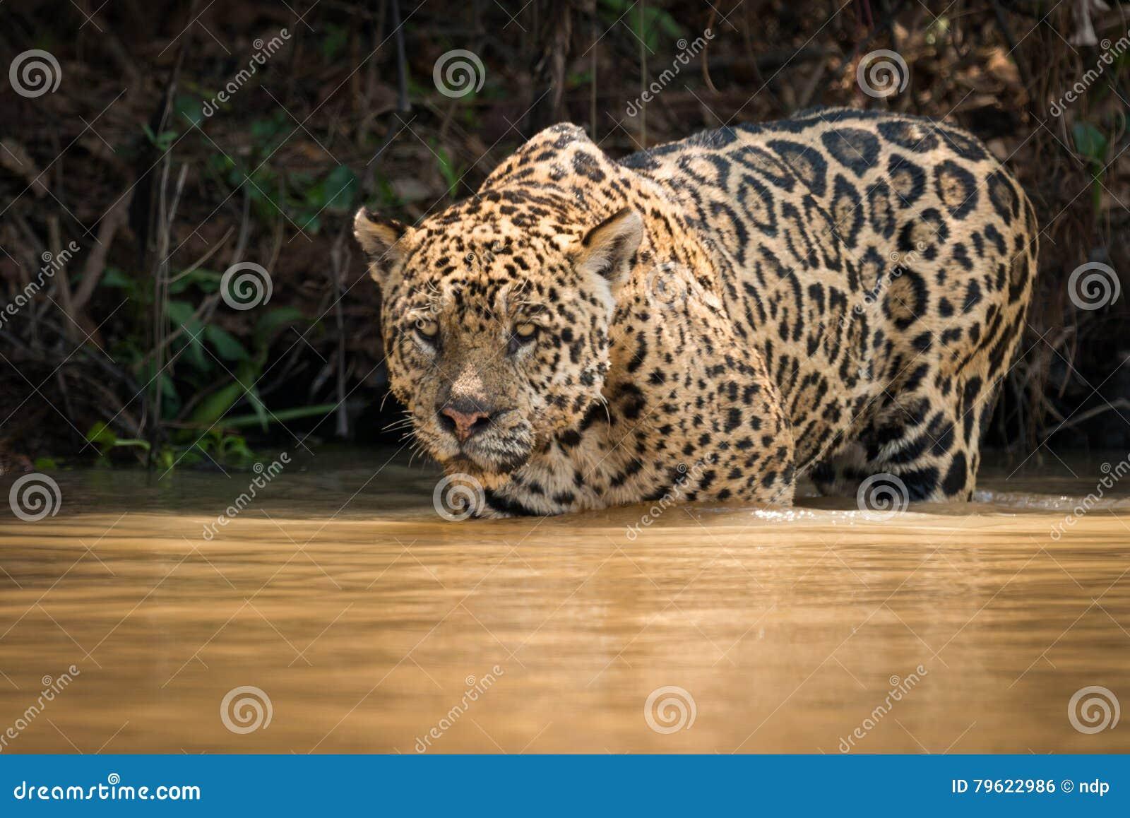 Jaguar olha fixamente para fora sobre o rio do raso