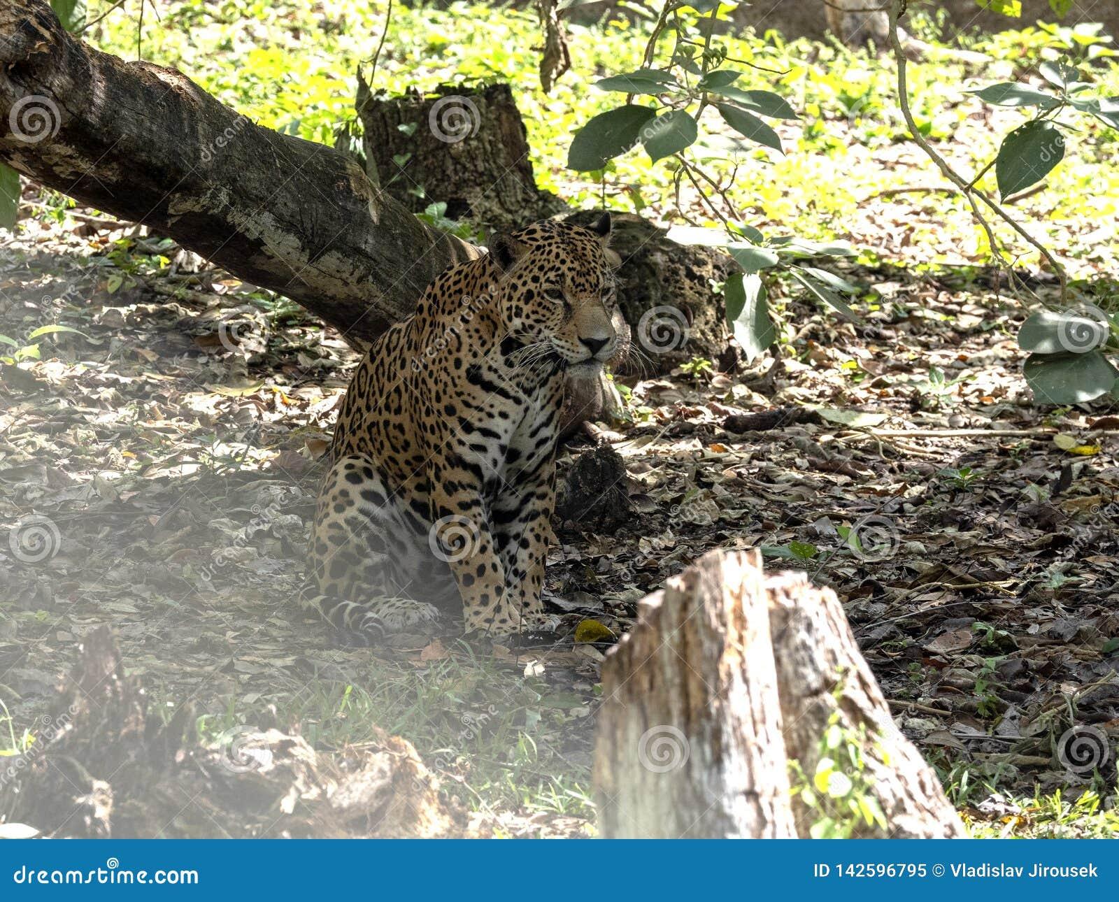 Jaguar, onca del Panthera, es el felino americano más grande, Guatemala