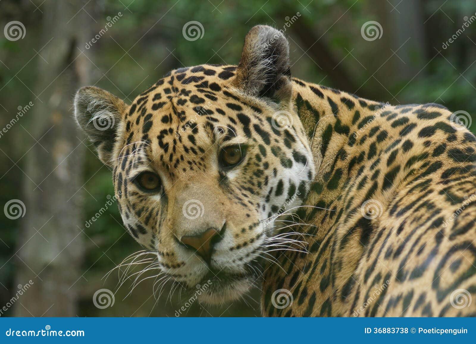 Download Jaguar - Onca Della Panthera Fotografia Stock - Immagine di jaguar, pantera: 36883738