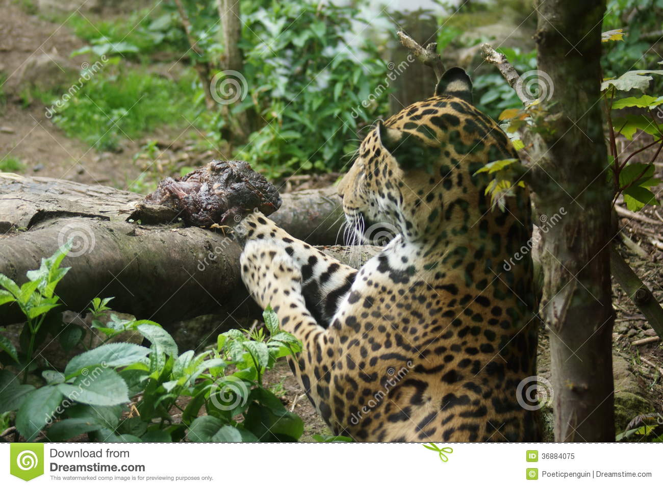 Download Jaguar - Onca Della Panthera Immagine Stock - Immagine di class, jaguar: 36884075